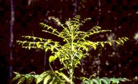 mahogany in the brazilian - Mahogany conservation: status and policy initiatives.