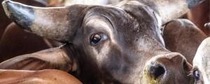foto 06 300x120 - Como melhorar a eficácia dos acordos contra o desmatamento associado à pecuária na Amazônia?