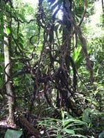 artigocie232 - Life history diversity among six species of canopy lianas in an old-growth forest of the eastern Brazilian Amazon.