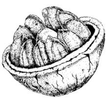 castanheira_semente