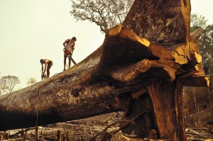 Logging, Amazon rainforest clearance, workers cut down a