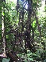 artigocie23 - Manejo de cipós na Amazônia.
