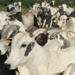 a viabilidade da regularizacao socioambiental da pecuaria 150x150 - A viabilidade da regularização socioambiental da pecuária no Pará