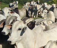 a viabilidade da regularizacao socioambiental da pecuaria - A viabilidade da regularização socioambiental da pecuária no Pará