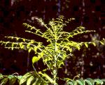 artigocie4 1 150x122 - Big-leaf mahogany (Swietenia macrophylla) seedling survival and growth across a topographic gradient in southeast Pará, Brazil.