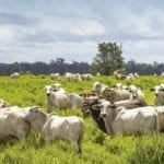 destaque pecuaria mudancas climaticas 150x150 - Série de webinários discutirá o futuro da pecuária na Amazônia