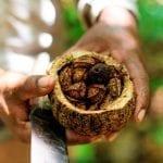 castanha 150x150 - #ImazonNaMídia: Como a economia de floresta em pé pode salvar a Amazônia – e o planeta (National Geographic Brasil)