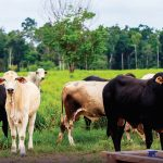 01pecuaria18042021 1 150x150 - Extensive Production Practices and Incomplete Implementation Hinder Brazil's Zero-Deforestation Cattle Agreements in Pará