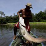 Pirarucu RicardoOliveira SEMAMA 150x150 - Pirarucu ganha holofotes da mídia internacional como um símbolo do desenvolvimento sustentável subexplorado na Amazônia