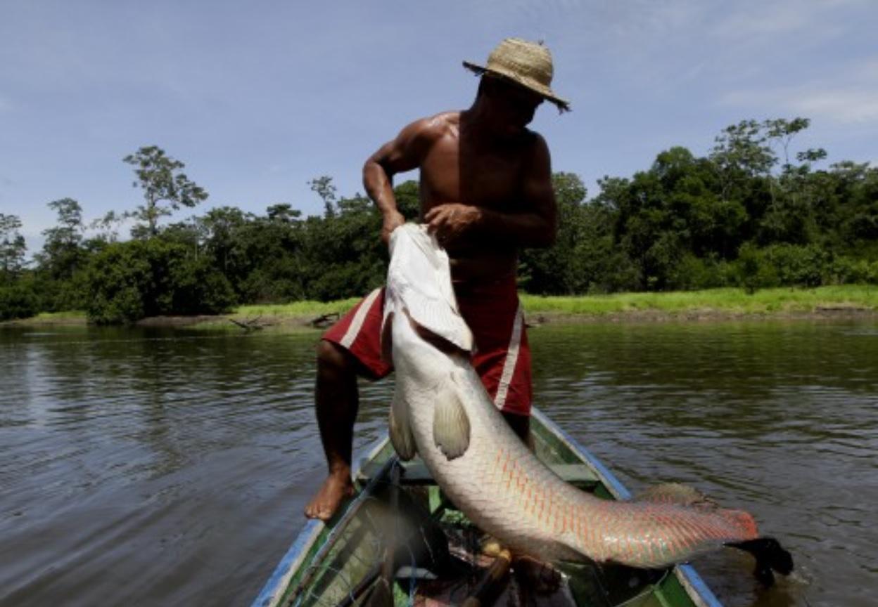 Pirarucu RicardoOliveira SEMAMA - Pirarucu ganha holofotes da mídia internacional como um símbolo do desenvolvimento sustentável subexplorado na Amazônia